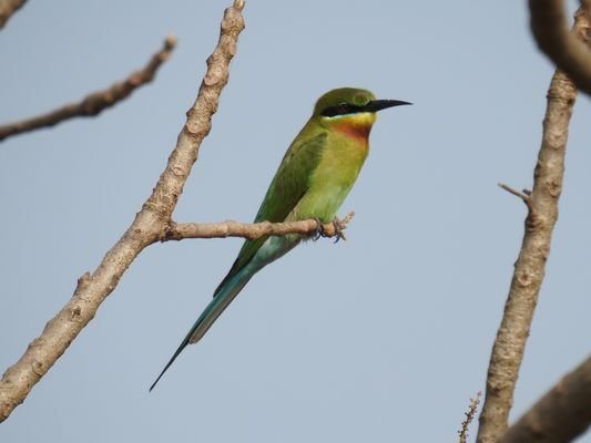 Blue tailed Bee eater  by Dave Eddy©