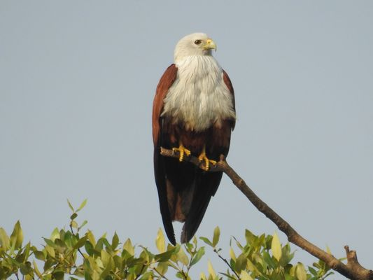 Brahminy Kite  by Dave Eddy©
