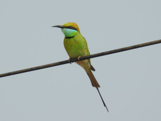 Little Green Bee eater  by Dave Eddy©