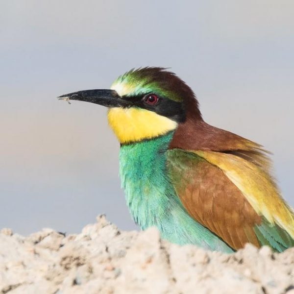 Bee eater by Paul Coombes©