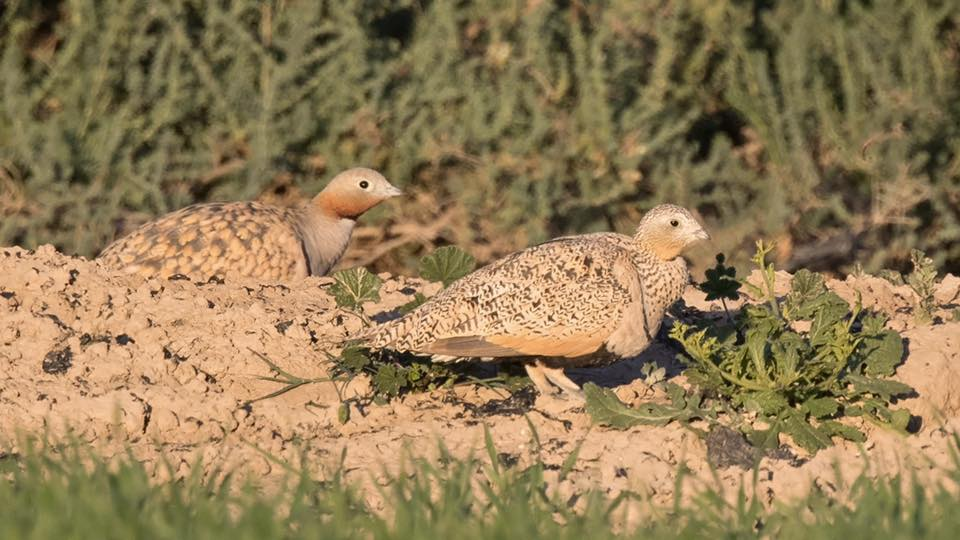 Black bellied Sandgrouse (male and female) by Paul Coombes©