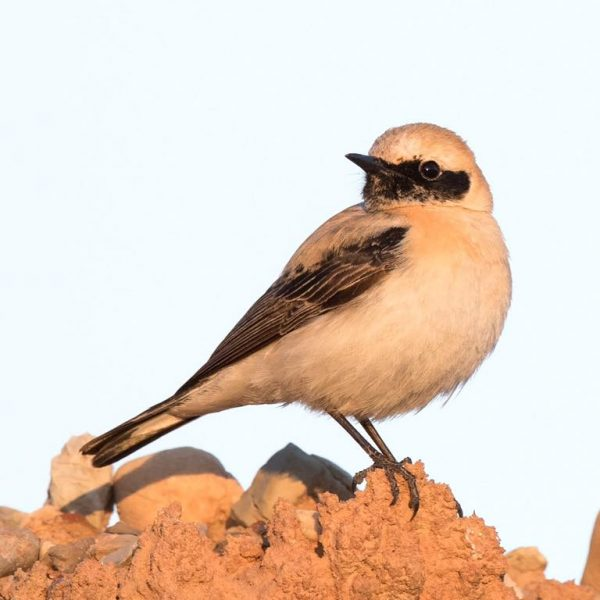 Black eared Wheatear by Paul Coombes©