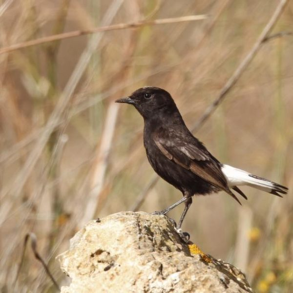 Black Wheatear by Paul Coombes©