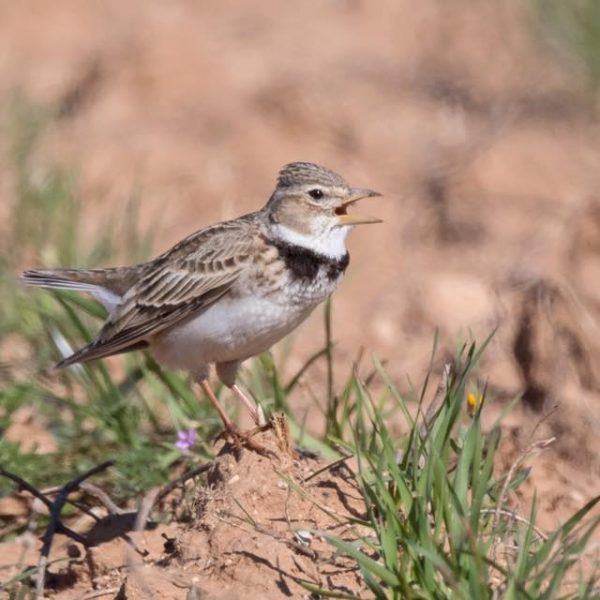 Calandra Lark by Paul Coombes©