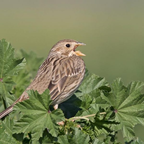 Corn Bunting by Paul Coombes©