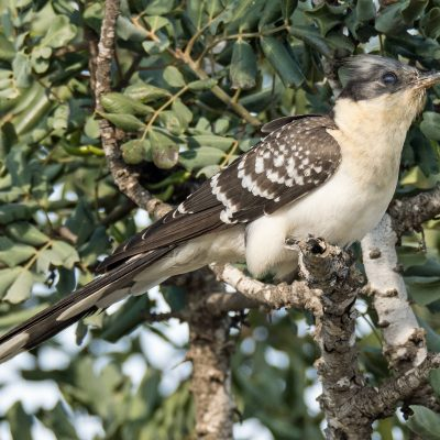 Great Spotted Cuckoo by Mark Etheridge©