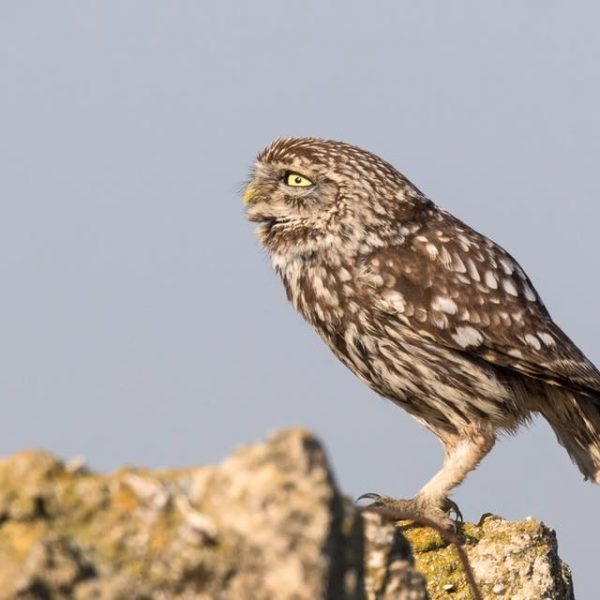 Little Owl by Paul Coombes©
