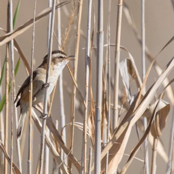 Moustached Warbler by Paul Coombes©