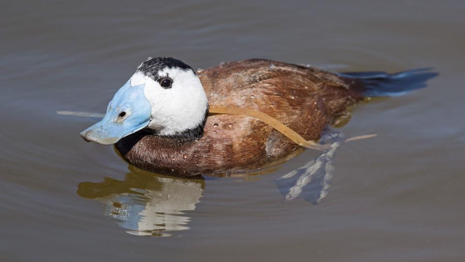 White headed Duck (male) by Paul Coombes©