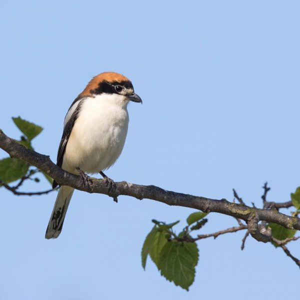 Woodchat Shrike by Paul Coombes©