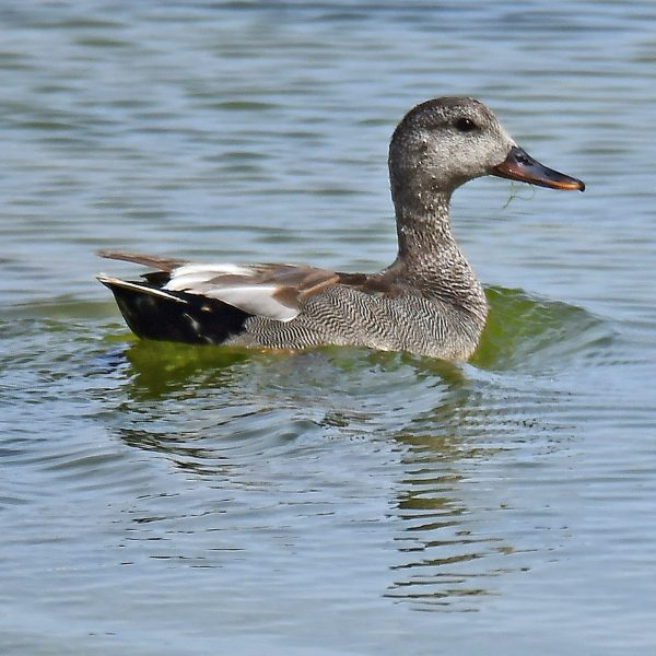 Gadwall by Mark Etheridge©