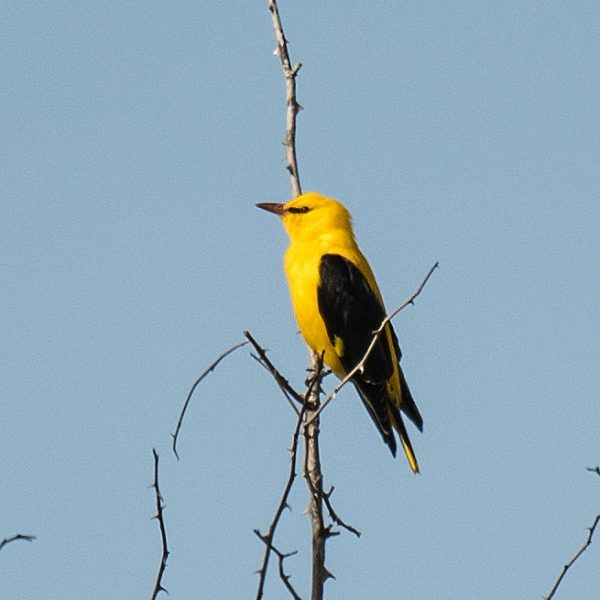 Golden Oriole by Mark Etheridge©