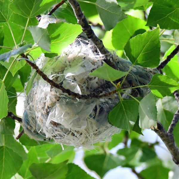 Golden Oriole nest by Mark Etheridge©