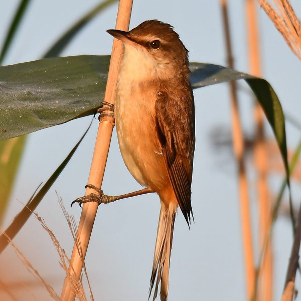 Great Reed Warbler by Mark Etheridge©