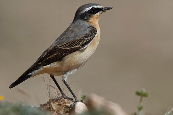Northern Wheatear by Bryan Thomas©