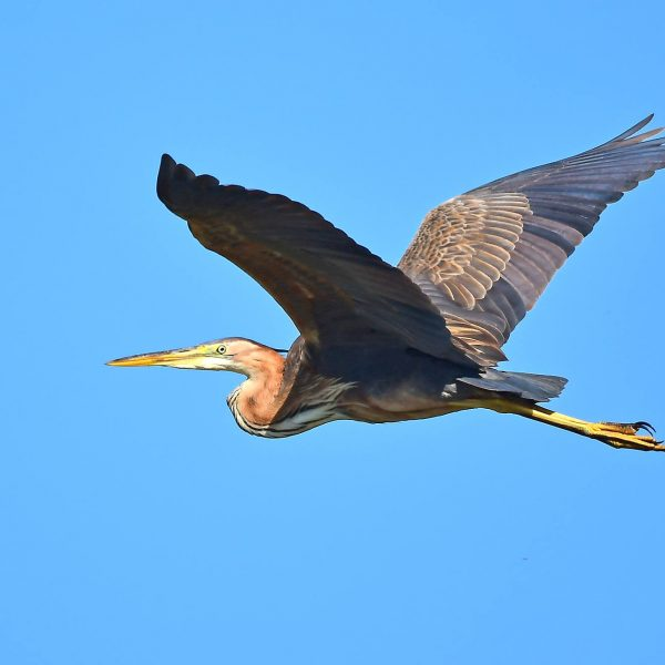 Purple Heron by Mark Etheridge©