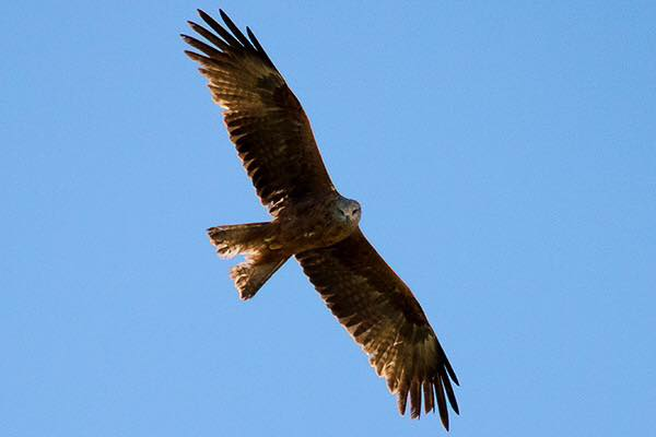Red Kite by Bryan Thomas©