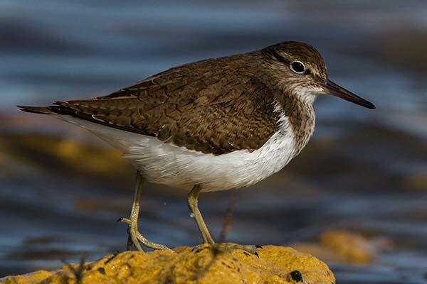 Common Sandpiper by Bryan Thomas©