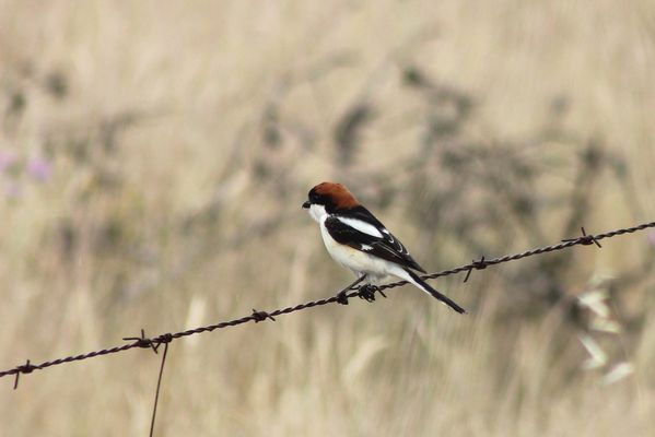 Woodchat Shrike by Mary Brazier©