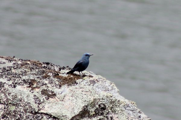 Blue Rock Thrush male by Mary Brazier©