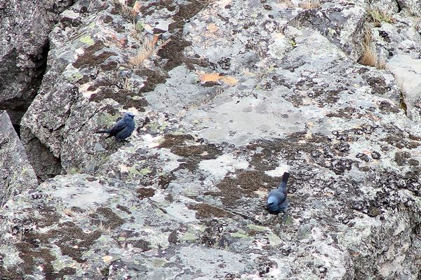 Blue Rock Thrush two males by Mary Brazier©