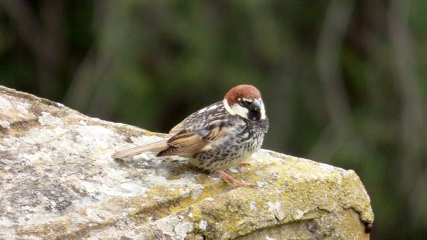 Spanish Sparrow by John Brazier©