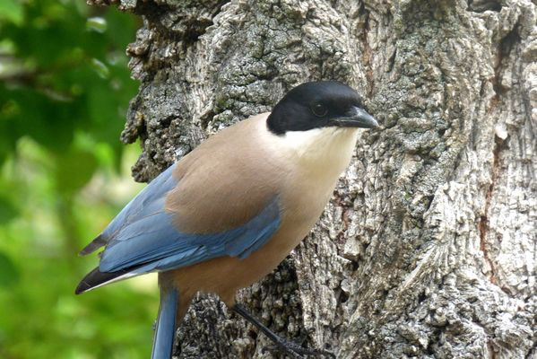 Azure winged Magpie by John Brazier©
