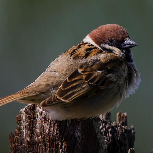 Tree Sparrow  by Bryan Thomas©