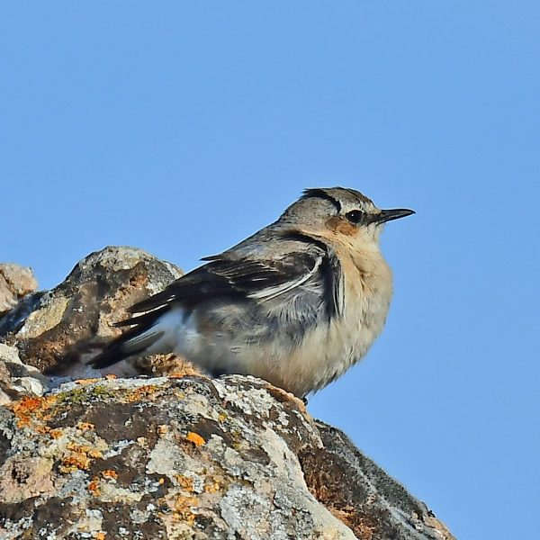 Wheatear by Mark Etheridge©