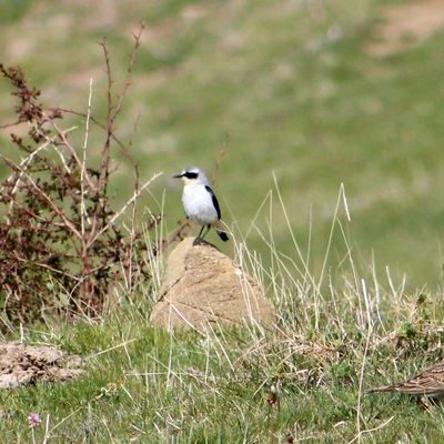 Northern Wheatear by Greta Owen©