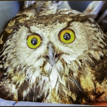 Eagle Owl Rescue – Ben Thomas