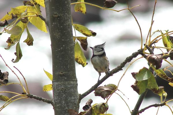 Crested Tit by Mary Brazier©