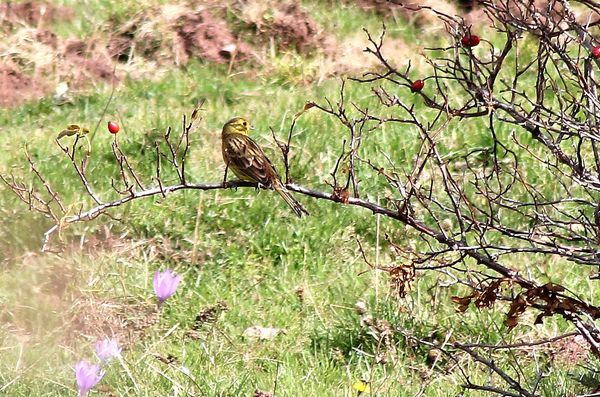 Yellowhammer by Mary Brazier©