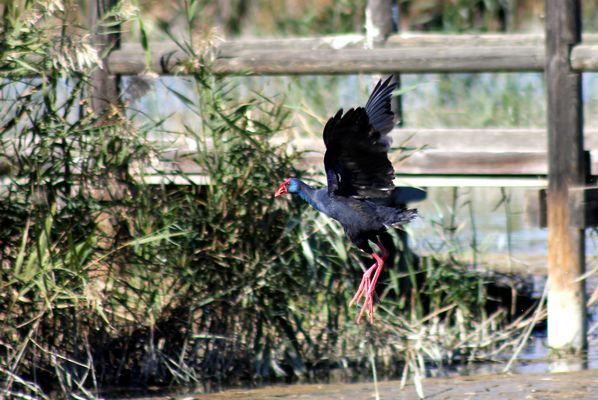 Purple Swamphen by Mary Brazier©