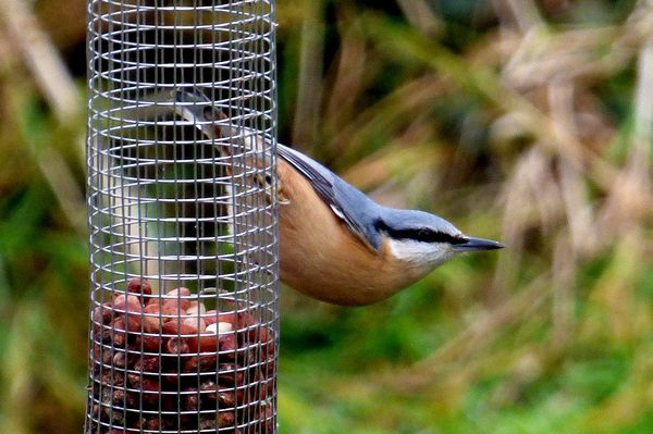Nuthatch by John Brazier©