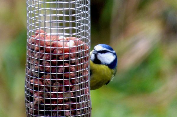 Blue Tit by John Brazier©