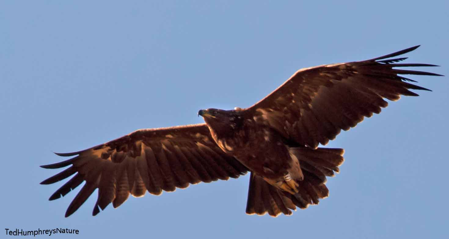 Great Spotted Eagle by Edward Humphreys©