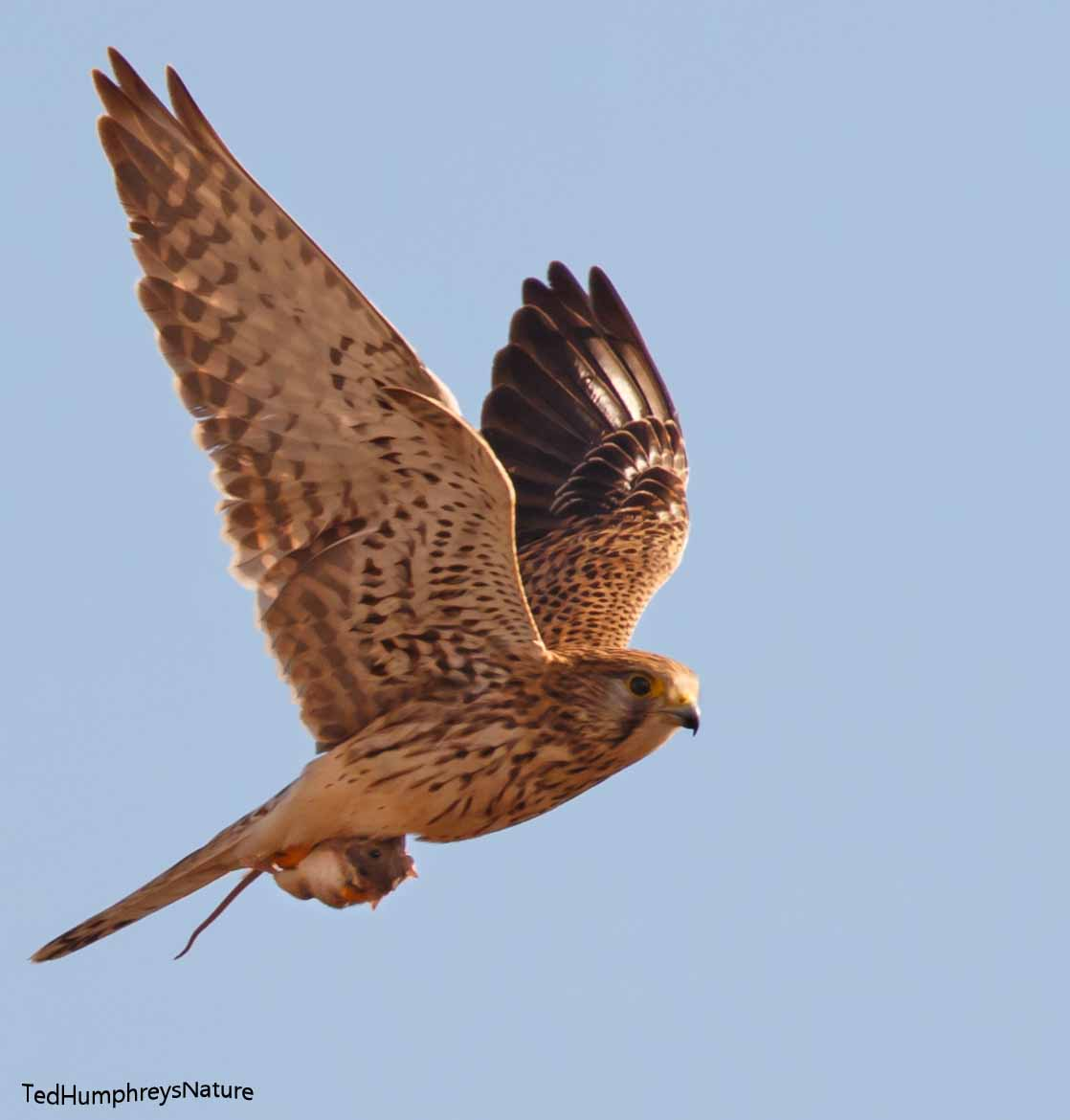 Kestrel by Edward Humphreys©