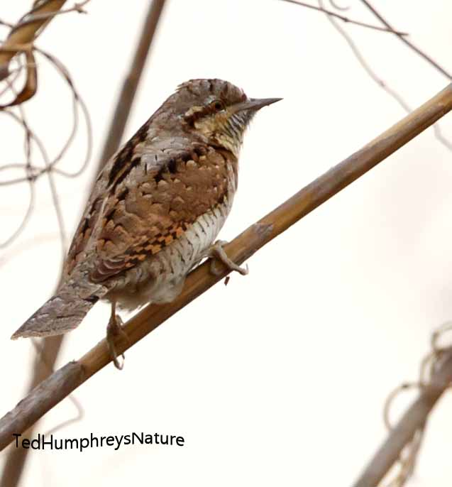 Wryneck by Edward Humphreys©