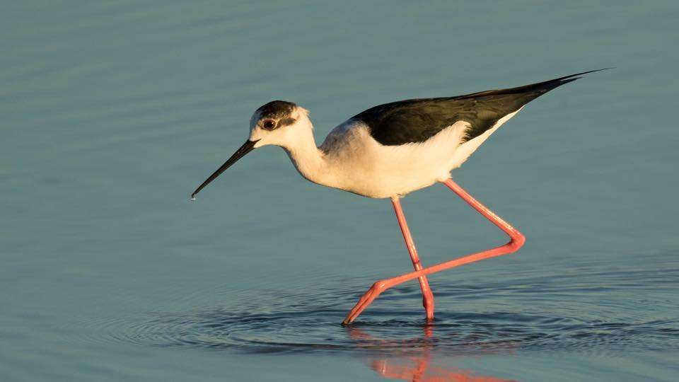 Black winged Stilt by Paul Coombes©
