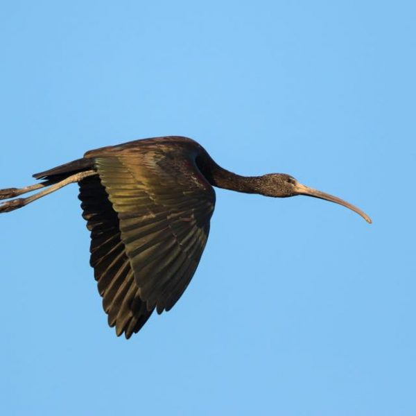 Glossy Ibis by Paul Coombes©