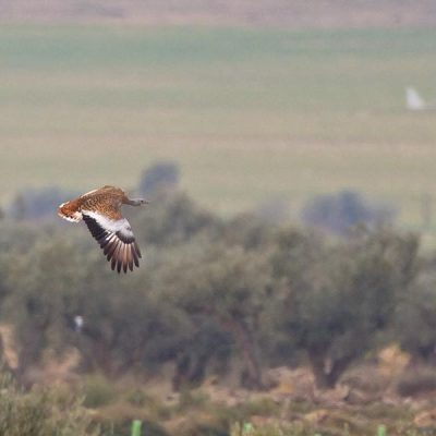 Great Bustard by Paul Coombes©