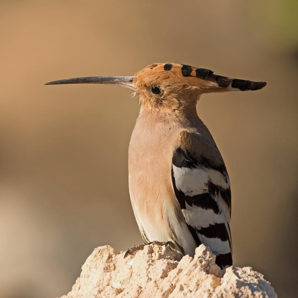 Hoopoe  by Paul Coombes©