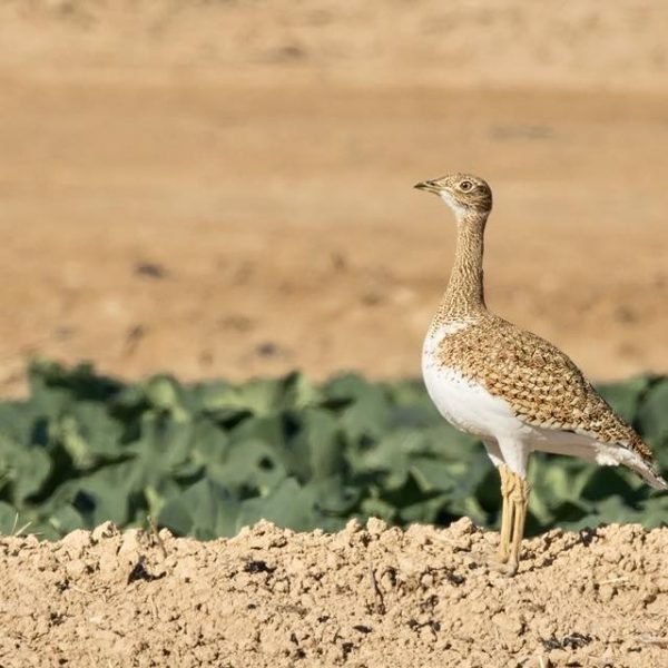 Little Bustard by Paul Coombes©