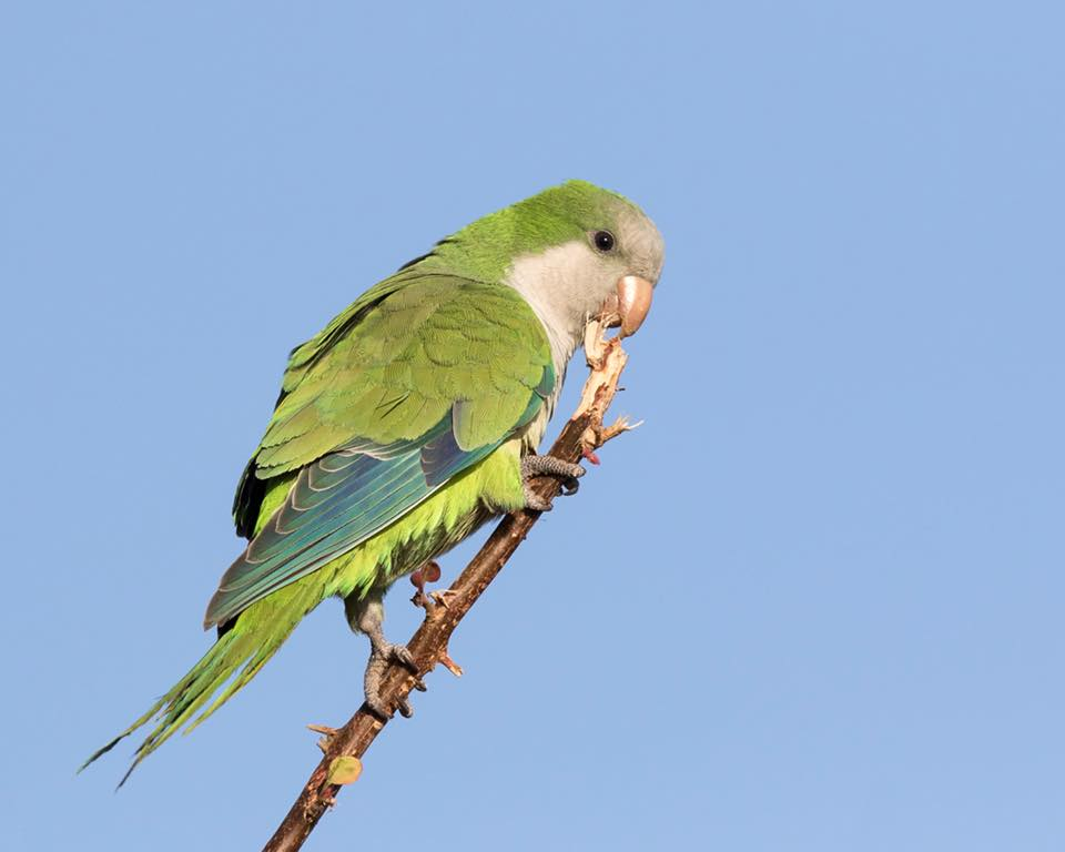 Monk Parakeet by Paul Coombes©