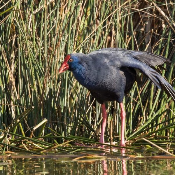 Purple Swamphen by Paul Coombes©