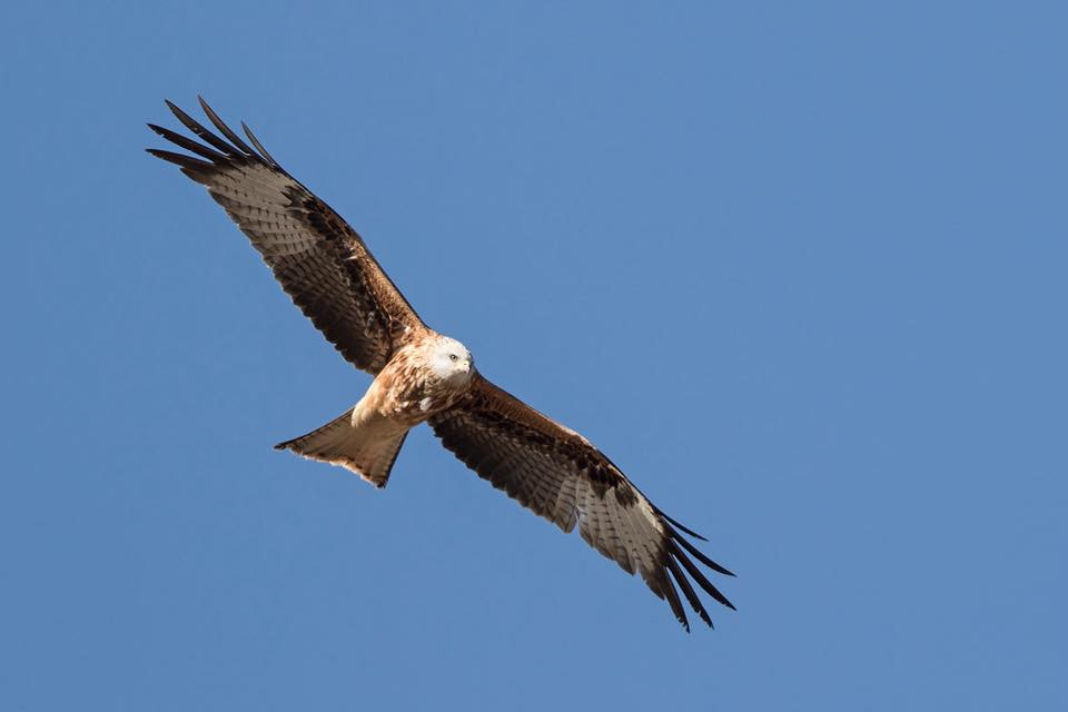 Red Kite by Paul Coombes©
