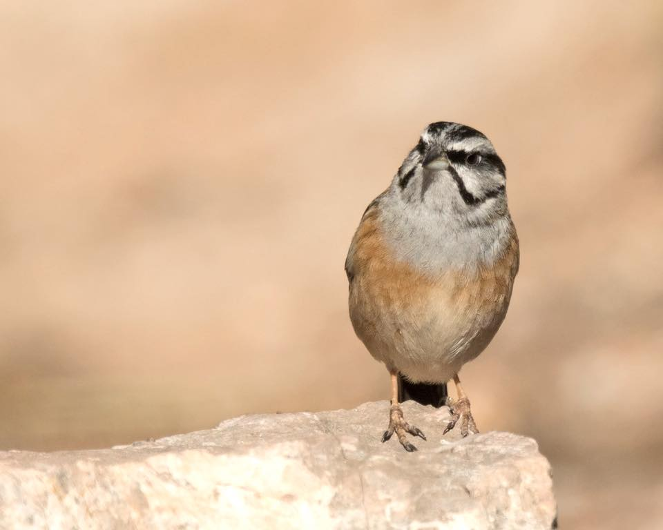 Rock Bunting by Paul Coombes©