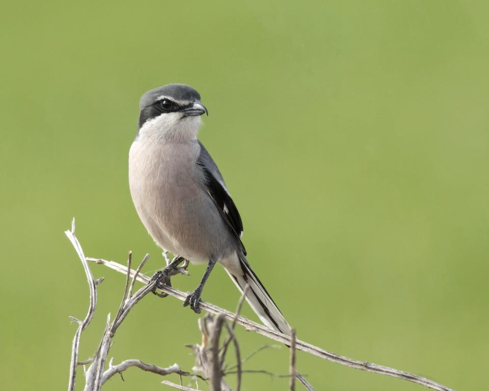 Southern Grey Shrike by Paul Coombes©