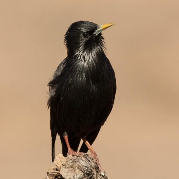 Spotless Starling by Paul Coombes©